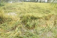 Sóc Trăng: Giúp nông dân khắc phục ảnh hưởng của thời tiết cực đoan