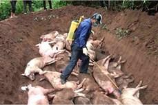 Phát hiện, tiêu hủy đàn lợn nhiễm virus dịch tả lợn châu Phi tại huyện Mường Nhé