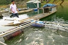 Giải pháp an toàn cho nghề nuôi cá lồng trong mùa mưa bão