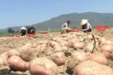 Nghiên cứu chọn tạo giống khoai tây sản xuất quanh năm tại Đà Lạt