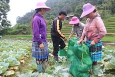 Trồng rau trái vụ - hướng thoát nghèo nơi vùng cao biên giới Lào Cai