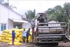 Nông dân Sóc Trăng được mùa, giá lúa tăng cao