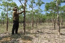 Hiệu quả kép từ mô hình trồng cây trôm ở Ninh Thuận