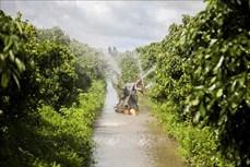 Ông Trần Văn Hiền thu lãi 1 tỷ đồng mỗi năm nhờ trồng quất