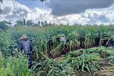 Nâng cao thu nhập từ trồng ngô lấy thân xuất khẩu ở huyện Châu Đức