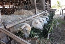Đẩy mạnh liên kết phát triển chăn nuôi ở Ninh Thuận