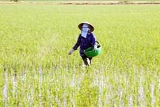 Sóc Trăng tăng diện tích lúa đặc sản và bao tiêu cho người trồng