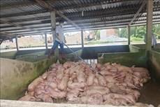 Sóc Trăng: Phát hiện và kịp thời tiêu hủy lợn nhiễm dịch tả châu Phi