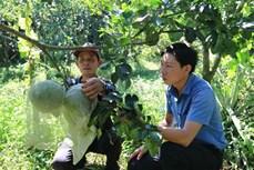 Trồng bưởi VietGAP cho nông dân ở Cầu Kè thu nhập trên 300 triệu đồng/ha/năm