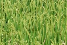 Nhật Bản phát triển giống lúa có khả năng chịu mặn