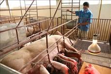 Bình Thuận tập trung tái đàn lợn và đảm bảo an toàn dịch bệnh