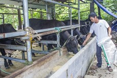 Nuôi bò thịt 3B - Hướng đi mới trong phát triển kinh tế tại huyện miền núi Võ Nhai