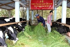 Mô hình thâm canh lúa, tôm và nuôi bò cho hiệu quả kinh tế cao ở Bến Tre
