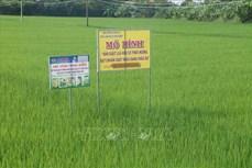 Trồng lúa hữu cơ xuất khẩu ở Gò Công Tây