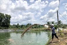 Anh Phạm Văn Phong thu tiền tỷ từ mô hình nuôi cá rô phi Philippines