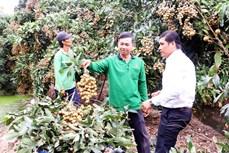 Anh Nguyễn Hữu Thanh trở thành tỷ phú từ trồng nhãn Ido