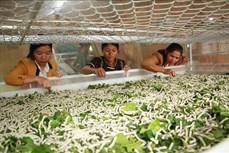 Phát triển nuôi tằm bền vững theo hướng xuất khẩu