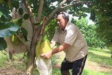 Ông Trần Minh Chánh thu tiền tỷ mỗi năm từ trồng mít