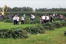 Hiệu quả sản xuất ngô sinh khối tạo đà phát triển chăn nuôi ở Vĩnh Phúc
