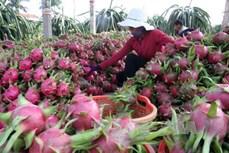 Ông Lê Văn Thủy trồng thanh long sạch hướng tới xuất khẩu
