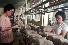 Ứng dụng công nghệ mới sản xuất nấm linh chi ở Thanh Hóa
