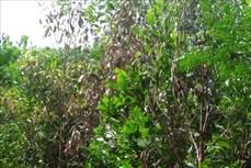 Yên Bái khuyến cáo người dân phòng tránh bệnh chết héo cây keo