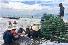 Khánh Hòa: Làm giàu từ nuôi tôm trên bạt