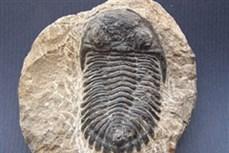 Đấu giá bộ xương hổ răng kiếm 40 triệu năm tuổi