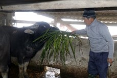Lào Cai chủ động chống rét cho đàn gia súc