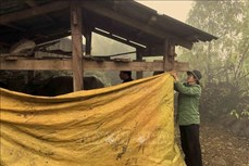 Lai Châu bảo vệ đàn gia súc giảm thiệt hại do rét đậm, rét hại