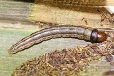 Bến Tre khẩn trương ngăn chặn sâu đầu đen gây hại vườn dừa