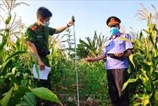 Gia Lai: Phát hiện nhiều điểm trồng cây cần sa trái phép tại huyện Chư Sê