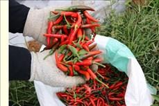 Gia Lai: Khuyến cáo nông dân không mở rộng diện tích do giá ớt bấp bênh