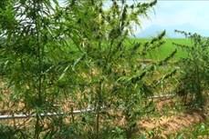 An Giang: Tiêu hủy 32 cây cần sa tại một hộ dân ở xã biên giới