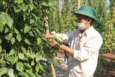 """Khuyến cáo người trồng tiêu khi giá tăng """"nóng"""" trở lại"""