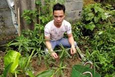 Nam Định tuyên truyền để người dân không trồng cây cần sa trái phép