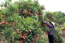Sở hữu trí tuệ góp phần đưa nông sản Việt đến thị trường thế giới (Bài 1)