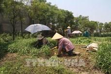 Trà Vinh: Nông dân tăng thu nhập từ chuyển đổi lúa vụ 3 sang trồng màu