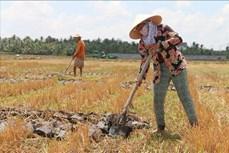 Hiệu quả kinh tế cao từ chuyển đổi đất lúa bạc màu sang cây trồng cạn ở Bình Định