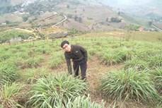 Anh thanh niên người Tày An Văn Tuấn làm giàu từ cây cỏ dân dã vườn nhà