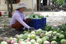 """Hỗ trợ nông dân vùng """"thủ phủ"""" xoài tỉnh Khánh Hòa tiêu thụ nông sản"""