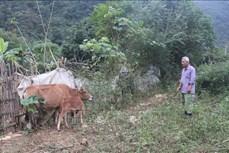 Cao Bằng chủ động tiêm vaccin để phòng, chống viêm da nổi cục ở trâu bò