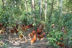 Dự án 380 tỷ đồng cho sản xuất chăn nuôi kết hợp trồng rừng ở Gia Lai