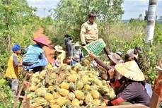 """Nông dân trồng dứa ở Gia Lai """"hụt hơi"""" vì thiếu nơi tiêu thụ"""
