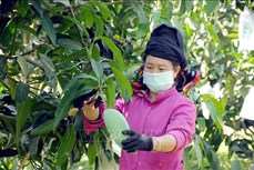 Gia tăng giá trị cho sản phẩm xoài Yên Châu