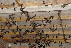 Áp dụng khoa học kỹ thuật phát triển bền vững nghề nuôi chim yến ở Việt Nam