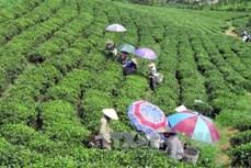 Hiệu quả sản xuất chè theo hướng hữu cơ tại Thái Nguyên