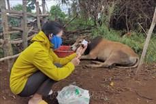 Kon Tum thêm 2 huyện công bố dịch viêm da nổi cục trên bò