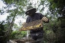 Hiệu quả từ nghề nuôi ong núi đá lấy mật ở huyện Bảo Thắng
