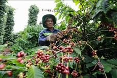 Đắk Nông hỗ trợ phát triển hạ tầng nhiều khu vực sản xuất cà phê tập trung